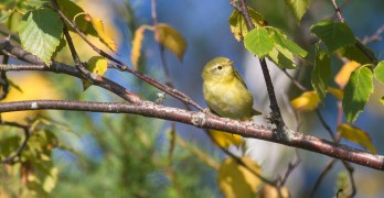 A Second Look at Fall Warblers