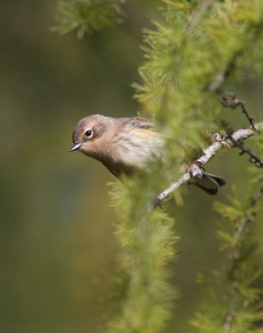 Yellow-rumped Warbler. (Superior National Forest MN) Photo © Sparky Stensaas @ www.thephotonaturalist.com