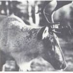 Caribou captured in Saskatchewan in 1938 for the attempted restoration project at Red Lake. Credit: U.S. Soil Conservation Service.