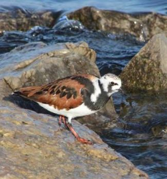 A Ruddy Turnstone looks for a meal as it takes a break on its migration from breeding grounds in the Arctic tundra. Photo courtesy Wisconsin DNR, Brie Kupsky.