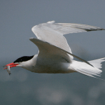 Tern-flying.jpeg