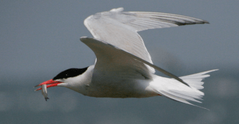 Tern-flying.jpeg