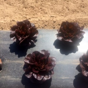 Red Gem Lettuce at the AG Farm