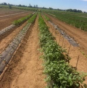 Tomatillo at the AG Farm