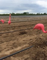 pink_flamingo_farm_1