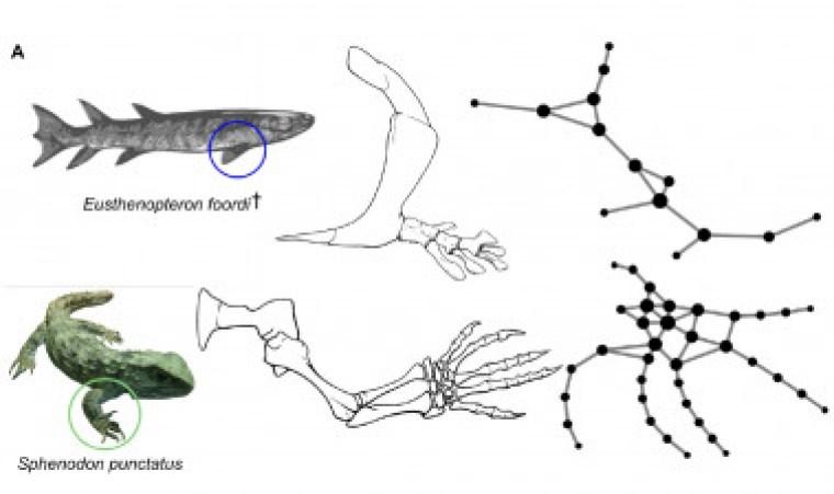 <p>Izquierda: un extinto Eusthenopteron (de la familia de los peces) y un reptil vivo Sphenodon. Derecha: redes de conexiones óseas correspondientes. /Borja Esteve-Altava</p>