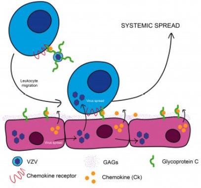 <p>El diagrama ilustra cómo el virus de la varicela zóster se sirve de una proteína para secuestrar a los glóbulos blancos y esparcirse por el cuerpo. / González-Motos <em>et al</em></p>