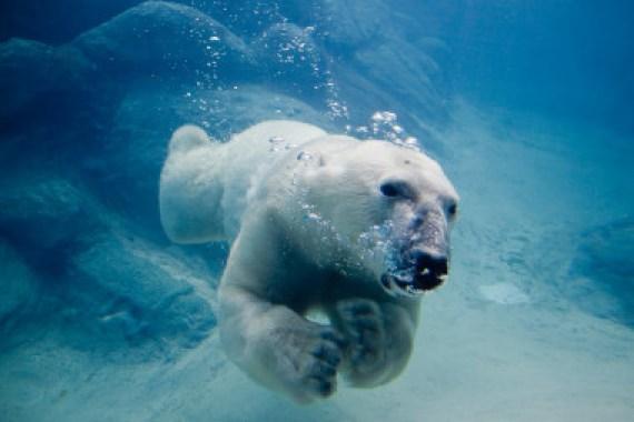 """<p>Las hembras subadultas de oso polar sin crías son más propensas a nadar largas distancias. En la imagen un oso polar nadando en el zoo de Asheboro (EE UU)./ <a href=""""https://commons.wikimedia.org/wiki/File:Polar_bear_swimming_in_zoo.jpg"""" target=""""_blank"""">John</a></p>"""