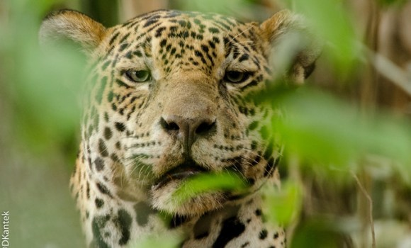 1_Jaguar en Pantanal Brazil_DanielKantek