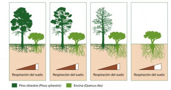 <p>Cuando los pinos se secan, las encinas invaden el espacio radicular que dejan los pinos, y la respiración total del suelo no cambia / Infografía de Josep Barba y J.Luis Ordóñez (CREAF)</p>