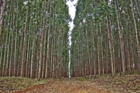 """<p>La nueva aplicación gratuita alojada en la nube<strong></strong>permite<strong></strong>estimar la producción de plantaciones de eucalipto en Galicia y la cornisa cantábrica. / <a href=""""https://www.flickr.com/photos/psicodrops/4609098972/"""" target=""""_blank"""">Cassio Abreu</a></p>"""