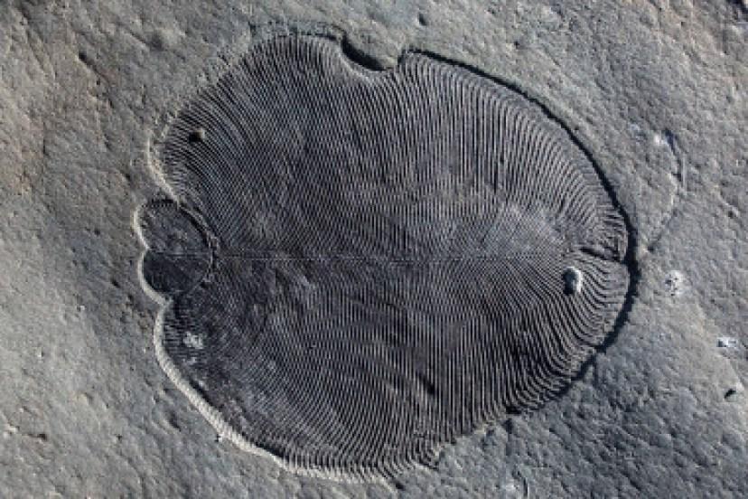 <p>Restos fósiles deDickinsonia / Ilya Bobrovskiy</p>