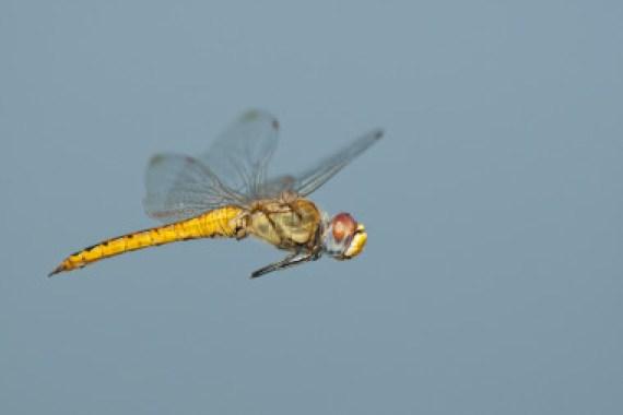 <p>El cuerpo y las alas de la libélula <em>Pantala flavescens </em>han evolucionado de tal forma que permiten al insecto recorrer distancias extraordinarias.<em>/ </em>Greg Lasley</p>