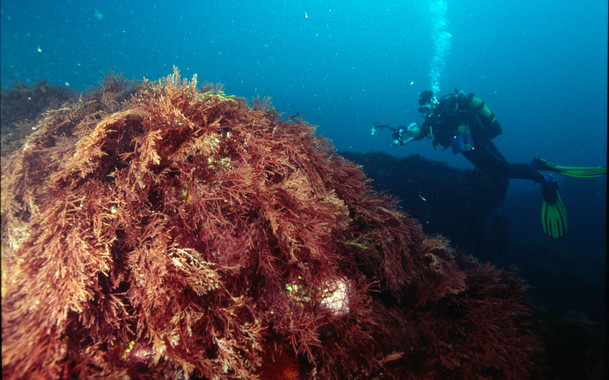 <p>La herramienta NEAT permitirá evaluar el estado de los mares. En la imagen, un buceador nada frente a una pradera de algas gelidium. / Álex Iturrate (AZTI)</p>