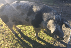 To market, to market, to buy a fat pig…two case studies of economic
