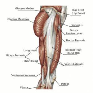 bacak kasları anatomisi