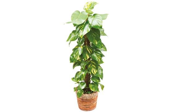 Plante Verte Dintrieur Pothos Livraison Domicile
