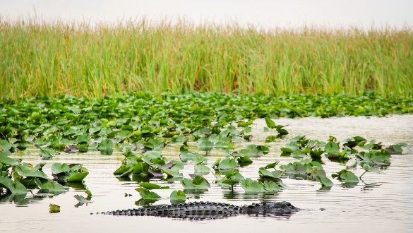 Alligator in Everglades National Park, Florida