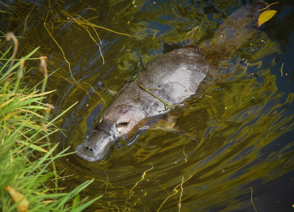 A platypus at the Salmon Ponds in Tasmania