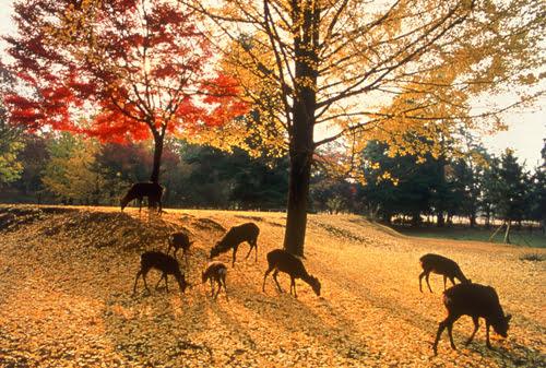 Autumn in Nara-Nara Park