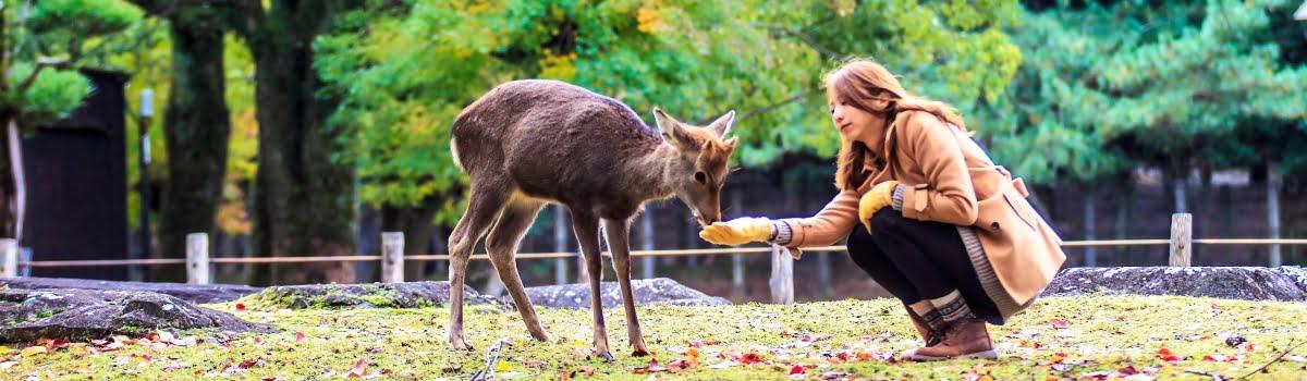 Things to do in Nara-Featured photo-Visitor feeding wild deer in Nara