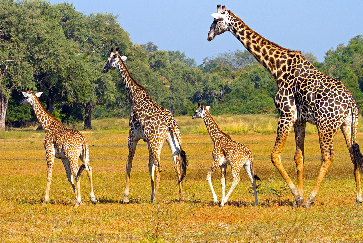 Places to visit in Zambia-Africa-South Luangwa National Park