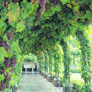 God in Christ is the tree of life, small enough for us to eat, take in, and live because of Him! [picture: a grape vine]