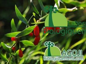 arbrisseau de Goji, plante de Goji