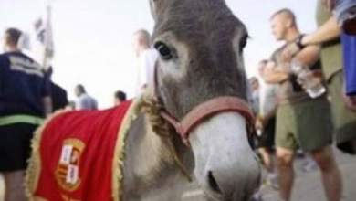 "Photo of عاش حياة هادئة مع خيول صغيرة: نفوق الحمار العراقي الشهير ""سموك"" في أمريكا"