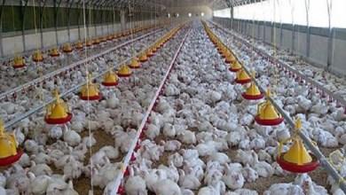 Photo of 8 في المئة فقط من الدجاج المنتج في المغرب يخضع للمراقبة