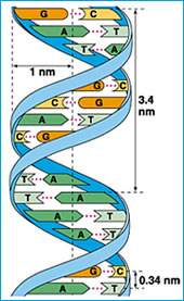 DNA Double Helix