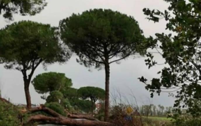 """""""Fratello Albero"""", intervista il dott. Giovanni Morelli, arboricoltore e agronomo naturalista, esperto di valutazione di stabilità degli alberi, tra i massimi esperti di gestione di pini in Europa."""