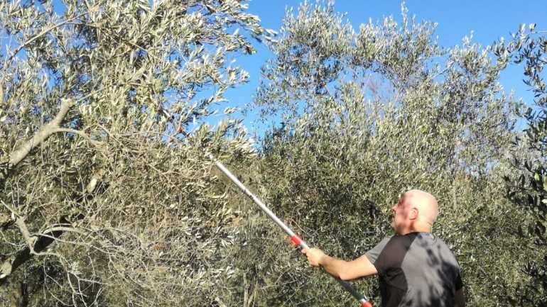 Nella Tuscia  gli olivi di Etruria lancia una campagna per il recupero degli oliveti abbandonati