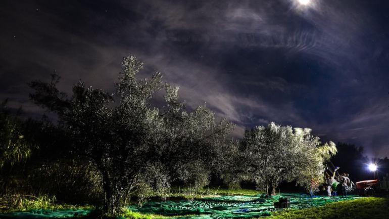 Montefiascone: il 22 ottobre un evento per scoprire la raccolta notturna degli uliveti recuperati dall'abbandono