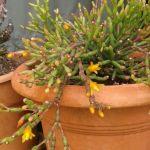 Hatiora-salicornioides
