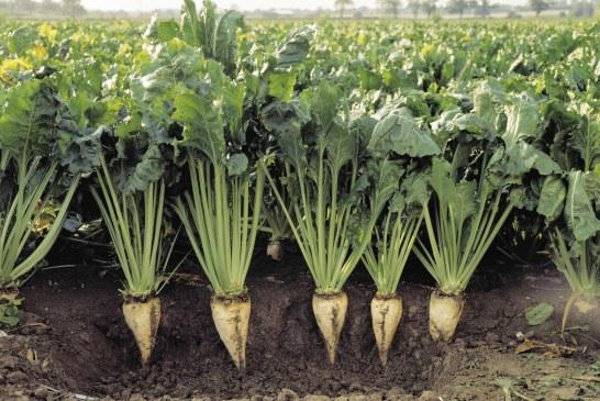 Betterave à sucre : peuplement et parasitisme du sol