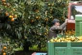 Agrumes : Qualité des fruits