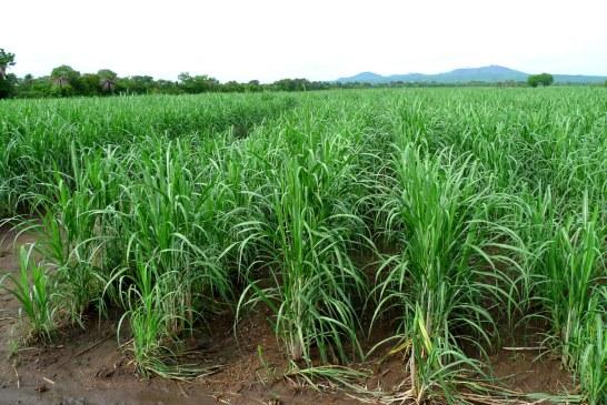 Canne à sucre : Désherbage et environnement