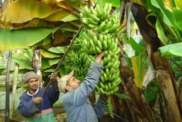 Le bananier résiste malgré les difficultés