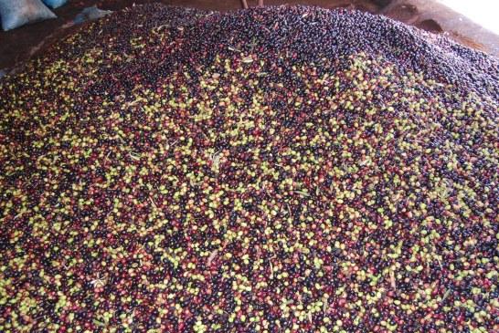 Oléiculture : Densité plantation de l'olivier et production
