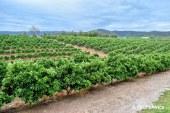Agrumes : porte greffes tolérants au stress