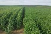 Céréales : Difficultés de commercialisation