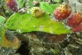 Cactus : Cochenille et lutte biologique