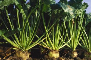 Betterave à sucre : Désherbage rendement et qualité