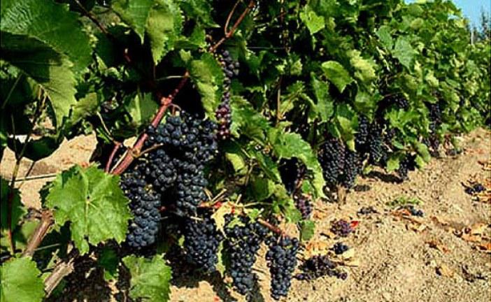 Viticulture : Crown Gall et lutte biologique