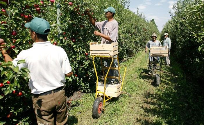 Arboriculture : Récolte et manutention des pommes