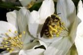 Arboriculture : Pollinisation et abeilles