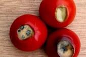 Maraîchage : Problèmes physiologiques de tomate