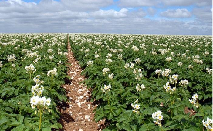 Maraîchage : Fertilisation Pomme de terre