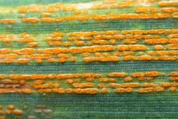 Céréales : Risque de rouille jaune sur blé